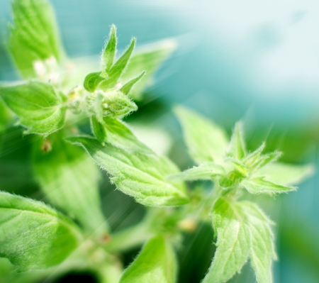 Close up of mint in herb garden in sun light, selective focus Stock Photo