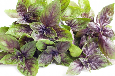 Close up of fresh purple basil leaves with water drops, isolated on white