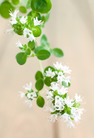 Close up of  blooming wild marjoram  oregano , macro shot, selective focus