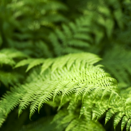 Summer time - close up of fern leaves, DOF