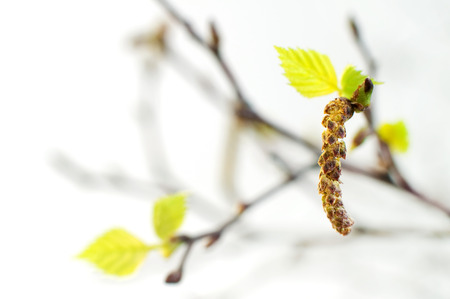Young birch leaves over white taken with shallow depth of field