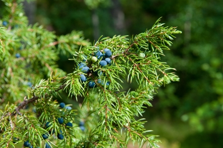 Close up of green juniper with black berries