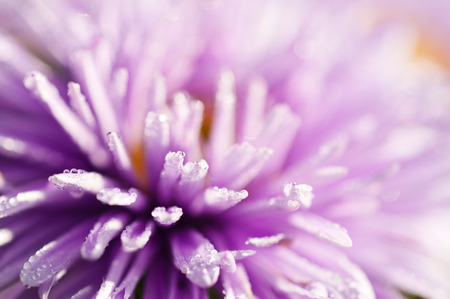 Abstract macro shot of lilac flower with water drops, selective focus