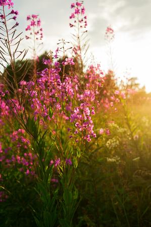 angustifolium: Pink flowers of fireweed (Chamerion angustifolium) at sunrise, selective focus