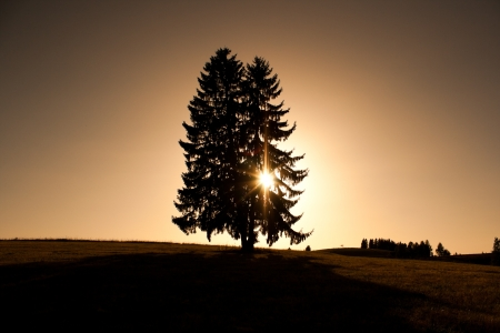 Silhouette of Conifer tree