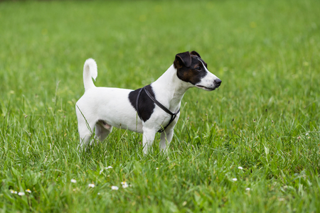 Portrait of  cute  dog Jack Russell Terrier  standing in the nature. Standard-Bild