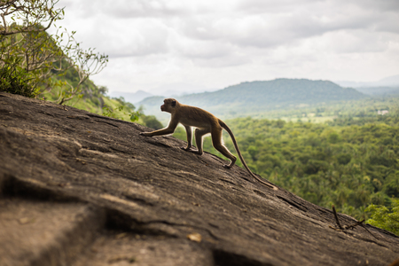 Toque macaque monkey climbing on the hill at Sri Lanka.