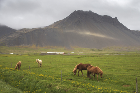Image of beautiful horses from Iceland. Imagens