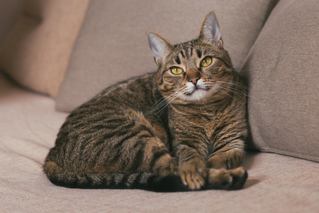Beautiful cat enjoys resting on sofa.Toned photo. Banco de Imagens - 124884921
