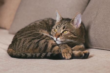Beautiful cat enjoys resting on sofa.Toned photo. Banco de Imagens