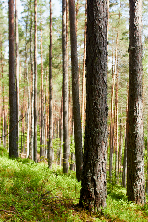 Natural pine tree forest in Latvia Stock fotó - 82603309