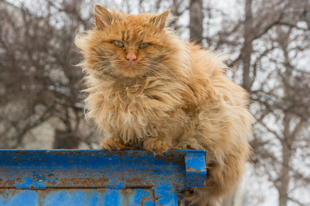 shaggy: red shaggy street cat