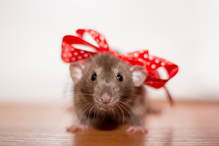 rat with a bow
