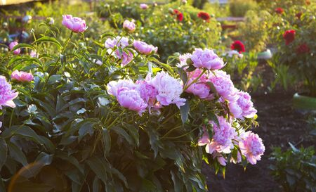 Peony Bush blooms in the garden, beautiful flowers in the rays of the setting sun