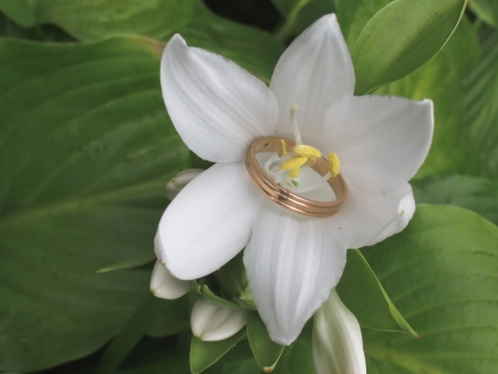 stamens: Gold ring threaded through white lily stamens Stock Photo