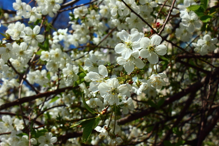 White fragrant flowers, delicate apricot on tree branch photo