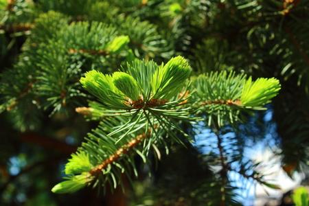 updated: Agujas de color verde claro delicados actualizaci�n piceas primavera Foto de archivo