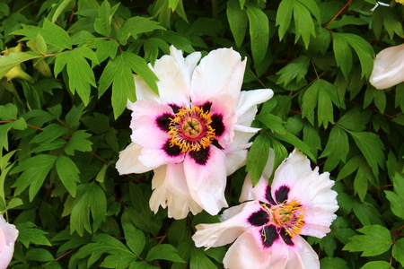 tree peony: tree peony flowers with white leaves, surrounded by greenery