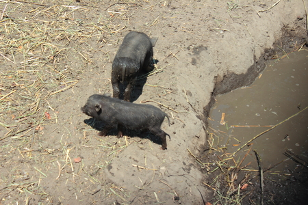 wallowing: near two small pools of dirty pigs Stock Photo