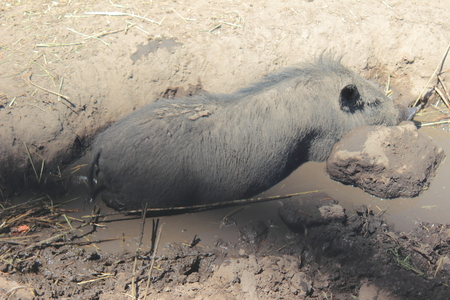 wallowing: dirty pig lies in a puddle Stock Photo