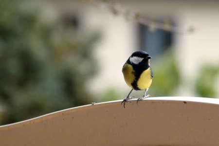 tomtit: Tomtit bird