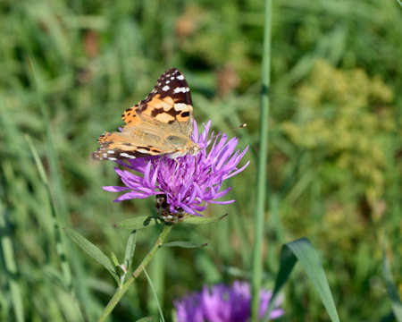 vanessa: Butterfly - Vanessa cardui