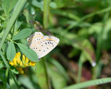 gaudy: Common blue butterfly