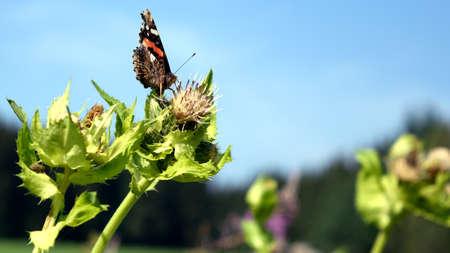 feeler: Butterfly - Vanessa atalanta