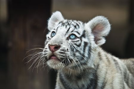 white tiger Stock Photo - 3673665