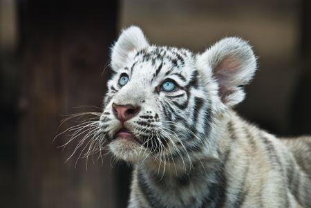white tiger Stock Photo - 3673665