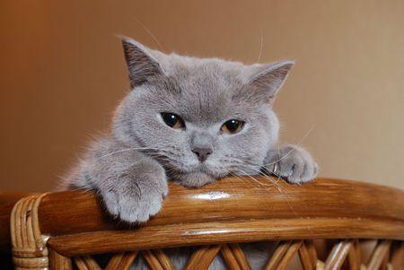 British cat Stock Photo - 3677799