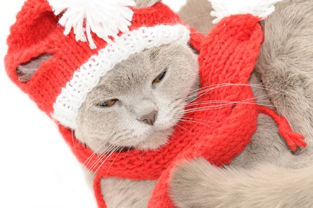 pompon: British cat  in a winter clothes