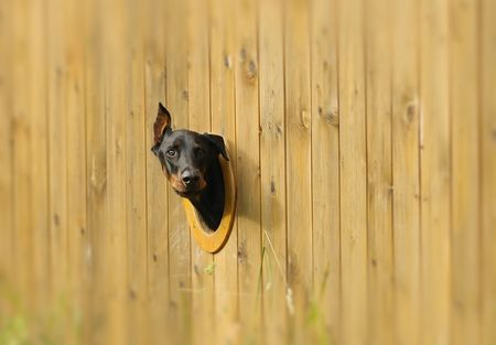 Curious dog looking from the hole in the fence photo