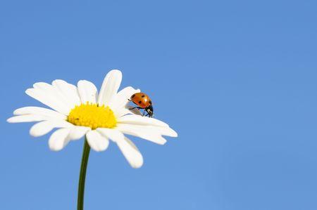flower ladybug: ladybird on daisy on a blue background Stock Photo