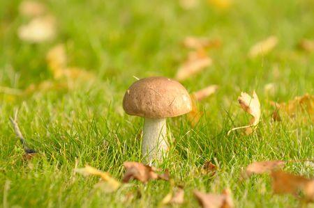 cep: Cep mushroom in the grass
