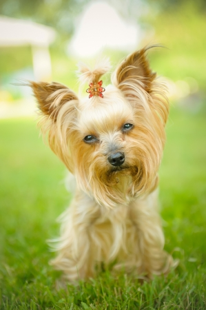 Small Yorkshire Terrier in Field
