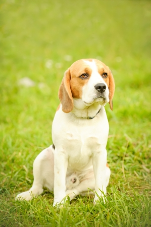 Portrait of cute beagle photo