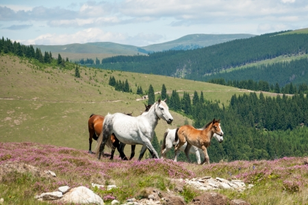 Beautiful horses in idyllic mountain scenery  photo