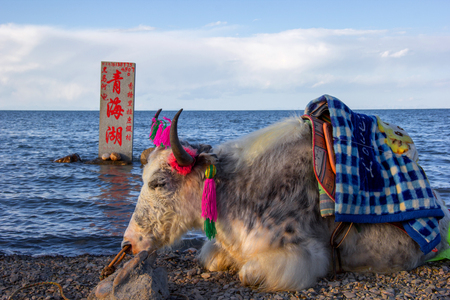 yak: Yak at Qinghai Lake for visitors to take pictures Editorial