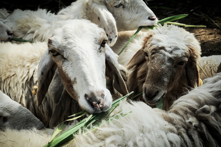 sheep in the garden eat a grass photo