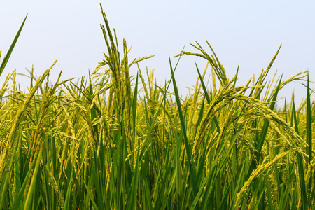 yields: Rice yields are out Stock Photo