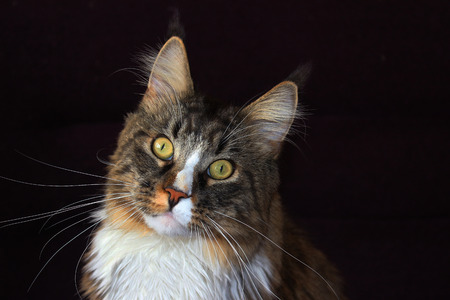 black ancestry: maine coon cat on a black background