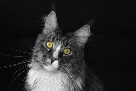 black ancestry: maine coon cat on a black background, black and white, colored eyes