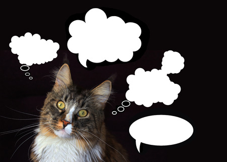 black ancestry: Maine coon cat with an empty white cloud of thoughts on a black background