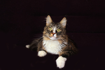maine cat: maine coon cat on a black background