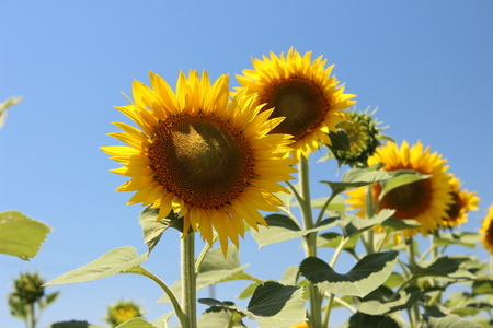 Bright yellow sunflower with green leaves against the blue sky