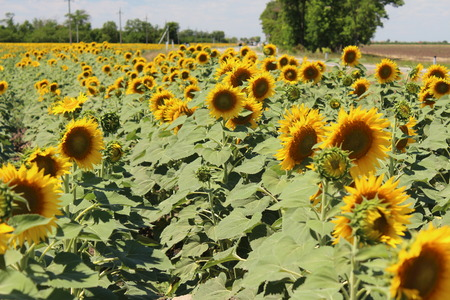 Many bright yellow sunflowers with green leaves in the field Фото со стока