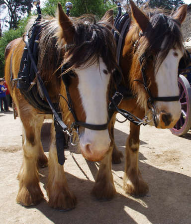 clydesdale: Clydesdale Horses in Harness Stock Photo