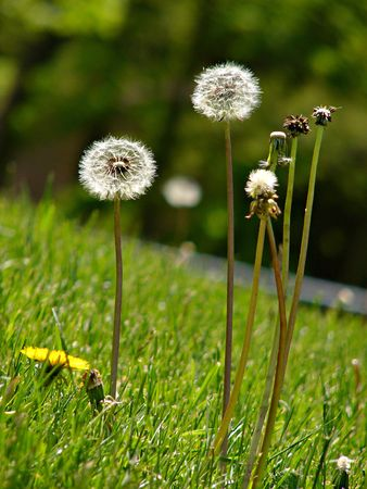 Dandelions gone to seed in lush green grass