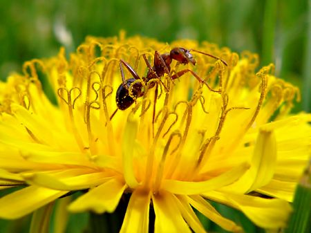 Busy Ant in the Pollen of a Dandelion photo